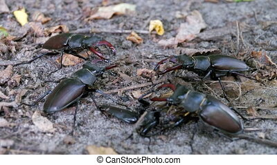Four Beetle Deer Creeps on the Ground. Black beetle bugs...
