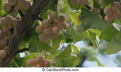 Ginkgo nuts with cicada's buzz - Tokyo,Japan-September 9:...