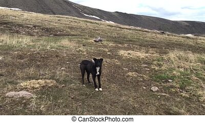 Dog in the mountains of Armenia