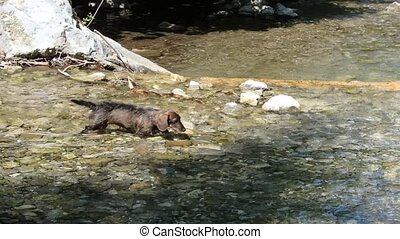 dog and mountain river - dog wading across the river