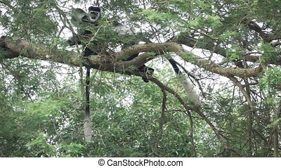 Colobus monkeys walking over tree branch in slow motion -...