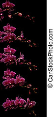Pink Moth Orchid Time-lapse Series