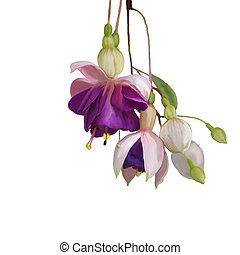Fuchsia Flowers watercolor - Digital Painting of Purple...