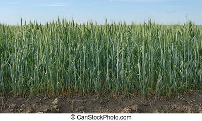 Green wheat plant moving at breeze - Agriculture, green...