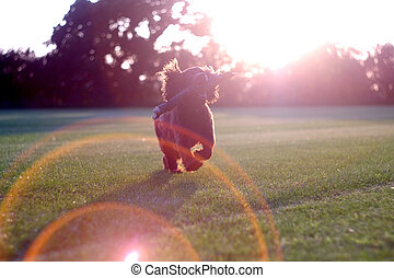 Flares - Dog at sunset in the countryside, with lens flares