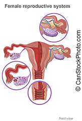 The female reproductive system contains two main parts: the...
