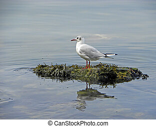 Close up of seagull at Kamchatka