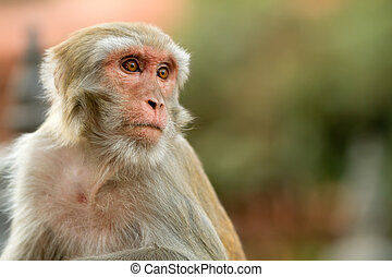 macaque portrait - close portrait of macaque, shallow depth...