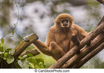 Lar gibbon sitting on branch in natural environment - Lar...