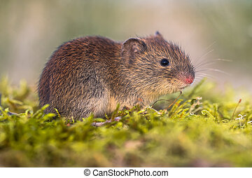 Bank vole in natural environment