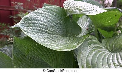 Rain drops fall on big round plant leaves. Static closeup...