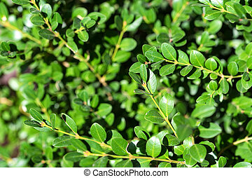 Close up green buxus leaves - Shiny green leaves of Buxus...