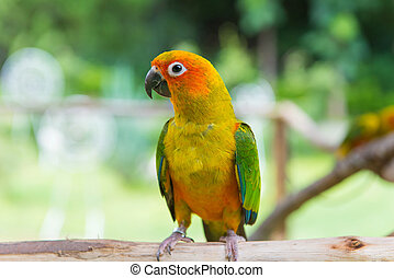 Lovebird or Parrot standing on tree in park, Agapornis...