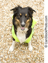 Border Collie wearing hi vis Jacket on beach