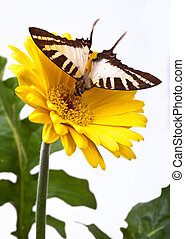 Graphium euphrates Butterfly - Graphium euphrates butterfly...
