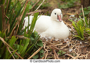 little white duck 8437 - little white duck sitting on nest