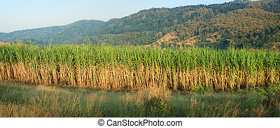 Sugar Cane panorama - panoramic scenery of sugar cane...