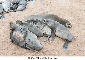 Creche of Cape Fur Seal pups at Cape Cross - A creche of...