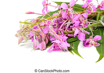 Ivan-tea on white - A bunch of Ivan tea flowers isolated on...