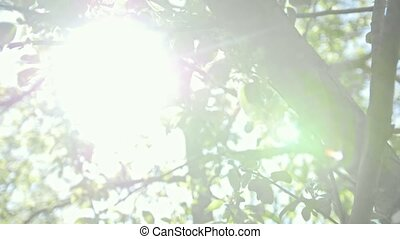 Blooming apple tree in front of summer sun, close up view