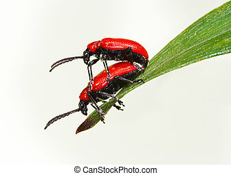 on the leaf - Detail (close-up) of a bugs - chrysomelid...