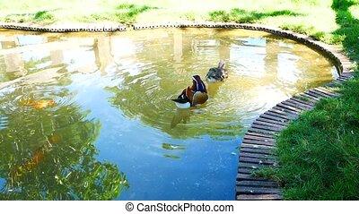 Mandarin duck (Aix galericulata) swiming in a pond.