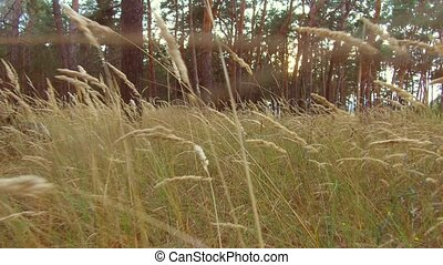Pine forest. Spring. Sunset pine forest grass. sunny morning in a pine forest
