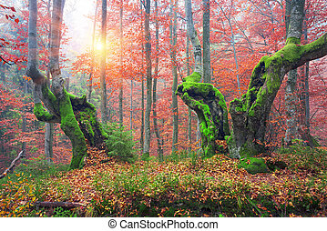 Beech forest in autumn - Ukraine, beech forest in the...