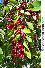Branches of bird cherry with berries