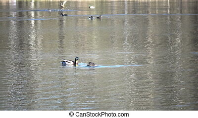 The duck and drake look for food in the lake,