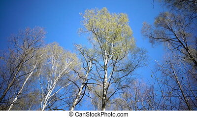 Tops of birches with young spring leaves against the...