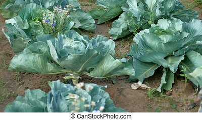 Background with a big fresh cabbage cabbage closeup. Cabbage...