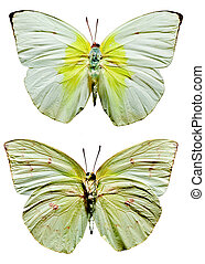 Lemon Emigrant Butterfly upper and lower views