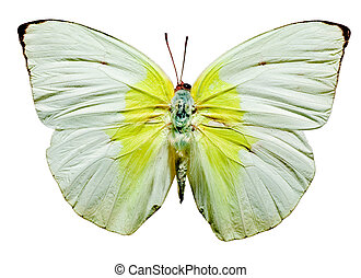 Lemon Emigrant Butterfly,  upper view on white background