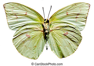 Lemon Emigrant Butterfly, lower view with white background
