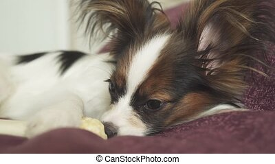 Papillon Continental Toy Spaniel puppy gnaws dried leg of...