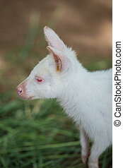 Albino Bennett's Wallaby stand in the garden
