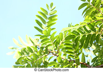 Rowanberry leaves against the sky - Beautiful leaves of...