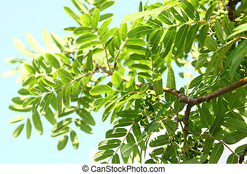 Rowanberry leaves against the sky - Beautiful leaves with...