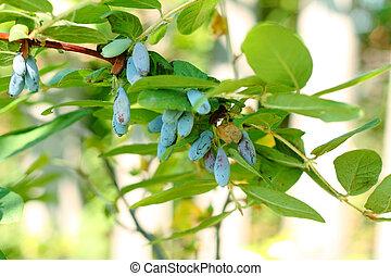 Honeysuckle with berries - Honeysuckle with blue berries...