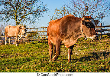 two cows on pasture in autumn. lovely everyday episode of...