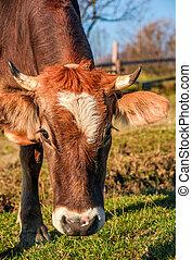 portrait of rufous cow - Portrait of rufous cow in autumnal...