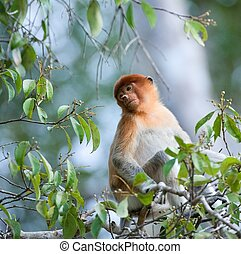 Romantic portrait proboscis The monkey sits in tree branches...