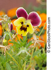 Close-up of Viola tricolor on natural background in a garden...