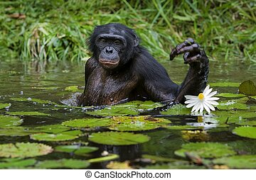 Bent for to the fine. - The chimpanzee collects flowers. The...