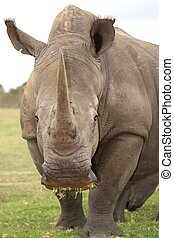 White Rhino - Huge white rhinoceros with grass in its mouth