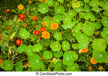 Flowers used in the kitchen: Marigold and nasturtium...