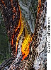 Arbutus Bark - Bark on an arbutus tree