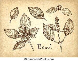 Basil ink sketch - Basil set. Ink sketch on old paper...