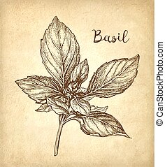 Basil ink sketch on old paper background. Hand drawn vector...